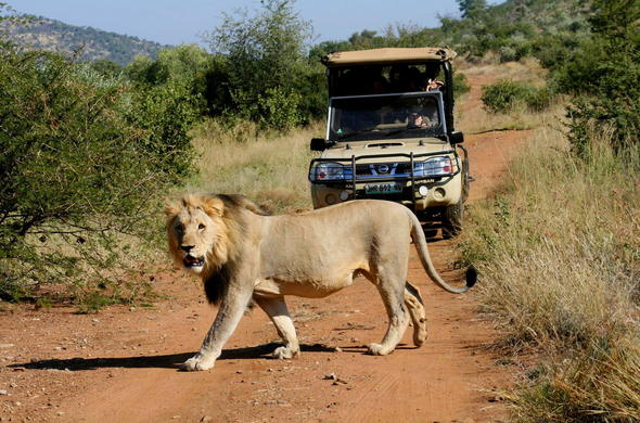 Lion spotted on game drive in Pilanesberg National Park.