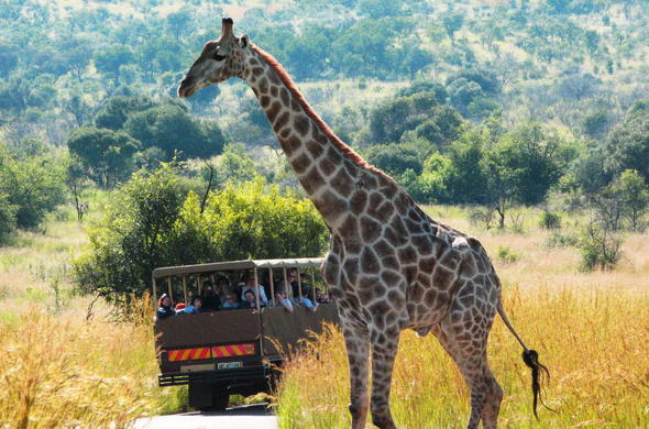 Giraffe in Pilanesberg National Park.