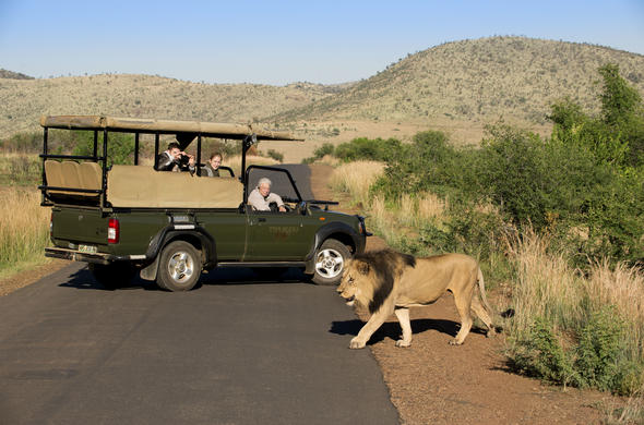 See lion on a  game drive in Pilanesberg National Park.